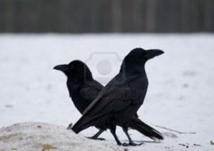 16941685-raven--corvus-corax