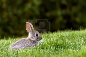 6129484-young-western-brush-cottontail-rabbit-deep-in-grass-forage